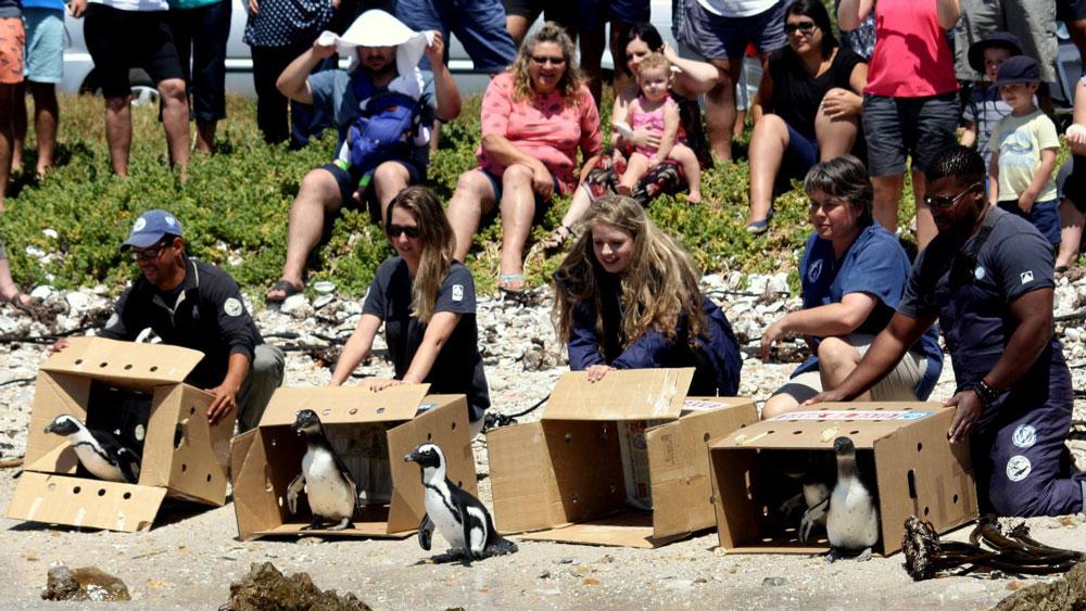 volunteers releasing penguins in cape town