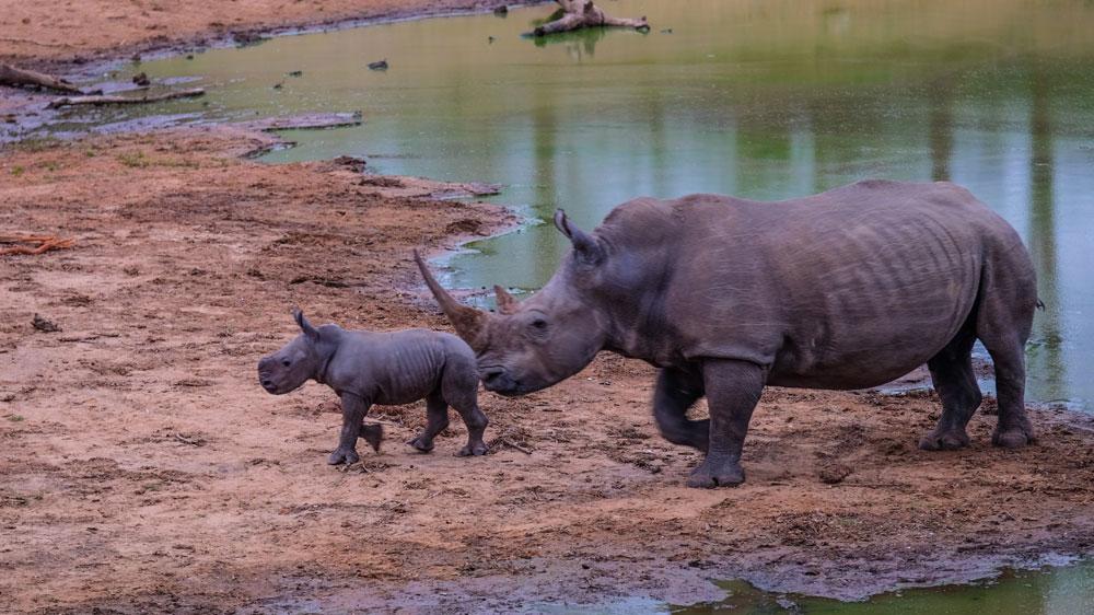 rhino and baby rhino at a waterhole