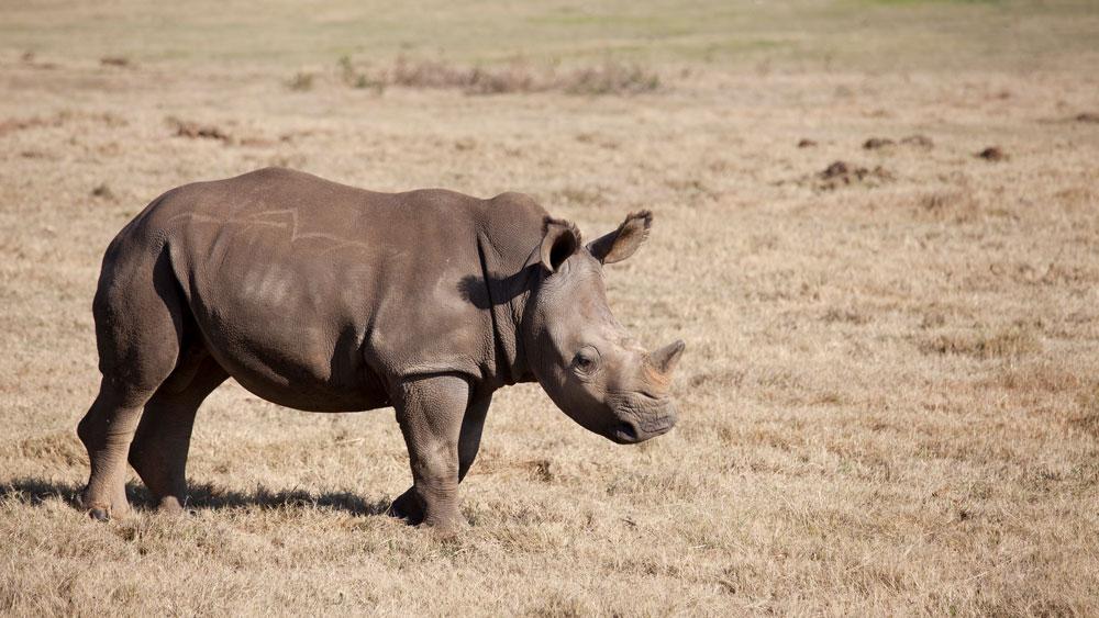 rinoceronte de bebê em um campo de grama